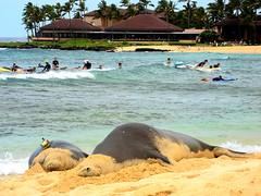 Kauai (njhdiver) Tags: hawaii seal kauai poipu endangered endangeredspecies monkseal hawaiianmonkseal habitatloss