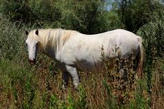 Camargue horse (Andrea Schaffer) Tags: summer horse white france july provence arles saltmarsh wetland 2010  tang camargue bouchesdurhne camargo camarga canonef70300mmf456isusm parcornithologique canon450d saltwaterlagoon pontdegau parcnaturelrgionaldecamargue