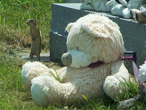 Ground Squirrel at Cemetary