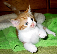 Scruffy (whaas987) Tags: cats kittens cutekitten fosterkitten beautifulkitten smilingkitten