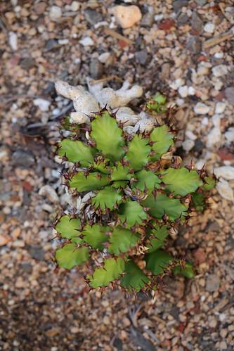 Euphorbia stellata