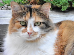 Sarah (brooksbos) Tags: summer portrait orange pet white black color colour colors beautiful animal closeup cat photo eyes feline colorful colours stripes calico