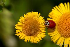 Red Spot 2 (Furcifer pardalis) Tags: flowers flower macro nature fleur canon bugs 100mm ladybird coccinelle 5dmarkii