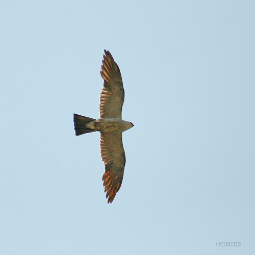 Mississippi Kite 4