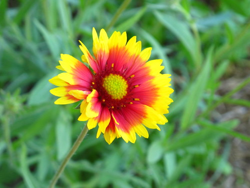 Lil' Mermaid's Flower Photos - Blanket Flower