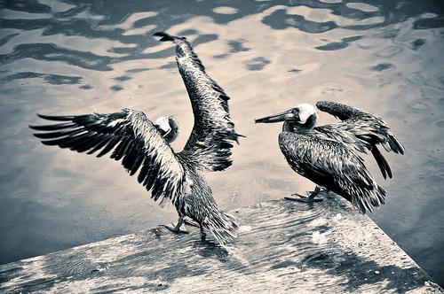 Shem Creek Pelicans
