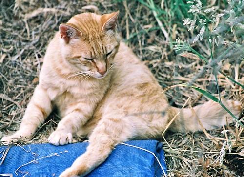 Orange Mid-Tail Feral Cat
