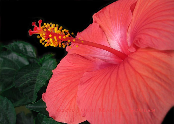 A red hibiscus flower.