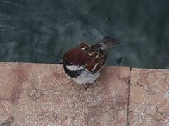 Malcesine - Lake Garda - little bird - Italian Sparrow (ell brown) Tags: italy bird lakeside wikipedia malcesine lakefront lakegarda lagodigarda veneto northernitaly wikimediacommons italiansparrow lagodibenaco lakebenaco