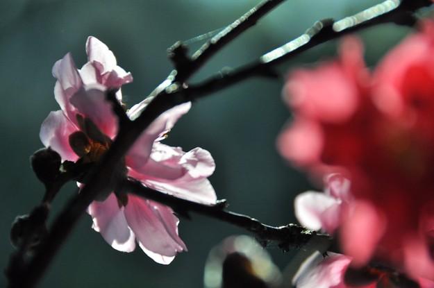 Cherry blossom 021