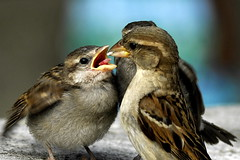 un pour toi... (lachaisetriste) Tags: famille paris nature nikon ngc montmartre oiseau moineau sweetfreedom specanimal d700 expressyourselfaward natureallovertheworld