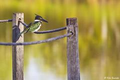 martim-pescador-verde (Rita Barreto) Tags: brasil fauna natureza pssaro miranda macho pantanal matogrossodosul fazenda martimpescador chloroceryleamazona martimpescadorverde