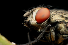 Fly portrait I (Gustavo Mazzarollo) Tags: macro eye canon insect compound riograndedosul 5x mpe65mm 580exii geo:country=brazil taquarivalley