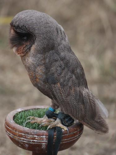 メンフクロウ これは黒かっこいい メラニズムな動物たち 【アルビノの逆】 Naver まとめ