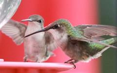 canada birds hummingbird
