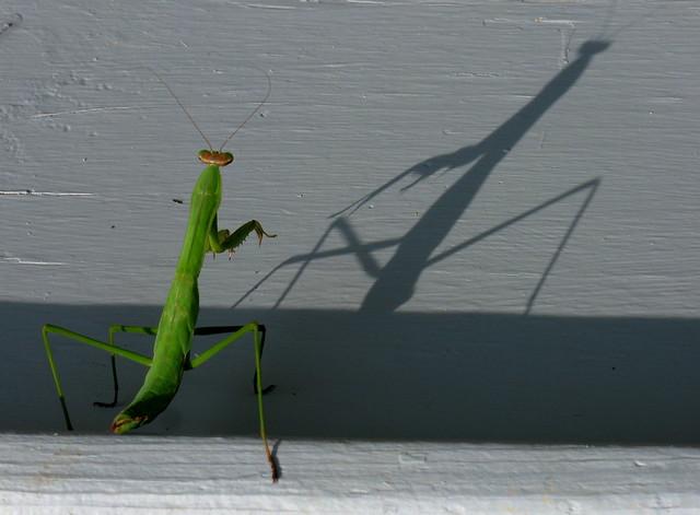 Mantis Shadow