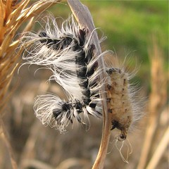 Caterpillar day 2 (Debi's kids (Here very little)) Tags: nature canon bug insect furry caterpillar naturesfinest beautifulmonsters mygearandmepremium mygearandmebronze ♥ي♥belitecaterpillarsandlarvaeb♥ي♥