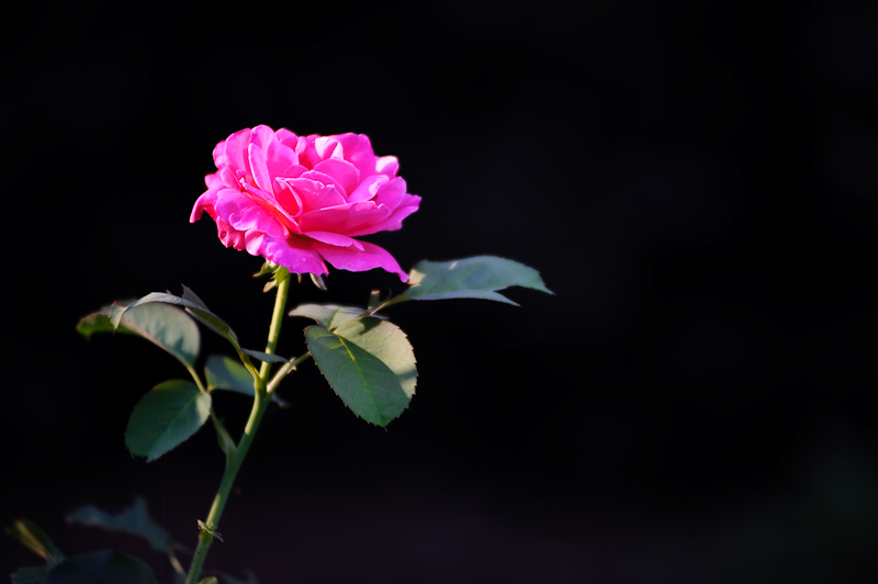 Day 303- Unedited Rose