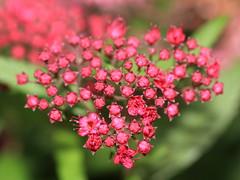Japanese spiraea / Spiraea japonica / () (TANAKA Juuyoh ()) Tags: flower high blossom hires resolution 5d hi  res japonica minakami gunma markii spiraea     hodaigi japanesespiraea