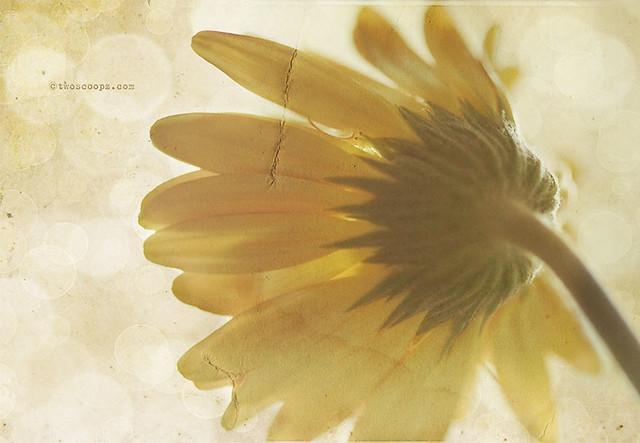 sunshine daisy {220/365}