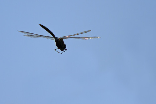 Dragonfly in Flight - Silhouette