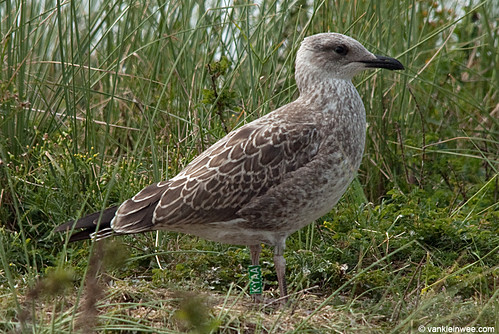 Lesser Black-backed Gull, 1cy, G[K.YAA]