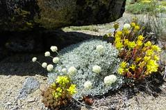 Eriogonum ovalifolium var. nivale & Sedum lanceolatum 100_1210 (sierrarainshadow) Tags: lake carson pass trail eriogonum sedum var winnemucca ovalifolium nivale lanceolatum