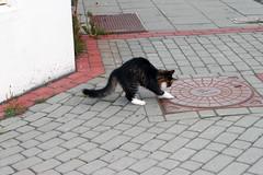 Cat from Reykjavík