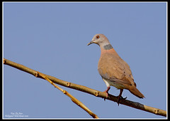 Red Turtle Dove (Rey Sta. Ana) Tags: wild white bird eye heron birds photography bay ana pics wildlife low philippines flock ducks rail kites manila rey land birdsinflight subic coron eagles dinosaurs waders cuckoo avian sta waterbirds bif palawan eastwood sunbird shrike philippine wildbirds bestshots ternate drongo mantarey coucals candaba staana avianphotography midoro 672178186 923681625 360351256 596691615 philippinebirds reysa bestimages philippinescenery birding2010 mtkalaonpark philippinebirdphotography reystaana