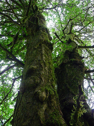 Nellie Megler's Gingko tree