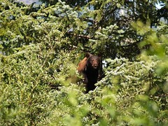 Cinnamon Mother in bushes (Gillfoto) Tags: alaska bear blackbear creek glacier juneau mendenhall steepcreek wild tongassnationalpark