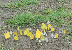lots of butterflies in mexico (devonpaul) Tags: mexico mud butterflies sulphur puddles clouded pauldickson