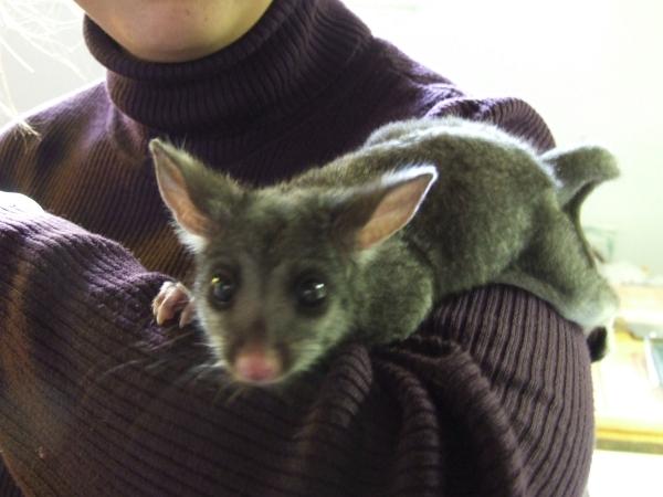 baby Australian possum 2