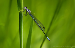 Damselfly (Edgar Thissen) Tags: macro green nature grass closeup insect wildlife damselfly juffer edgarthissen 43214