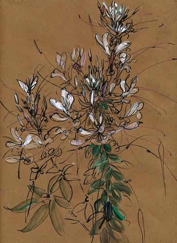 August garden: white chleomes