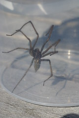Spider (NIRDIAN) Tags: macro spider big fast bugs creepy caught sneaky longlegs gothim foitsop