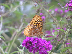 Great Spangled Fritillary Butterfly (78spacecadet) Tags: butterfly great spangled fritillary