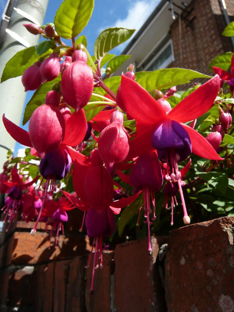 Photo: Fuchsia magellanica