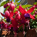 Photo: Fuchsia magellanica