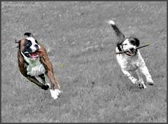 ~~Dalton et Hélèna~~ (Joélisa) Tags: dogs cutout nikon course boxer perros mouvement chiens jeux bâton noiretblancpartiel larchedejoé