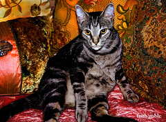 The Cat Says . . . (faith goble) Tags: art relax beads bed orientalshorthair funny king artist photographer kentucky ky fat silk free velvet pillows cc enjoy creativecommons poet happybirthday meow rest writer sultan demanding satin sequins luxury bowlinggreen pest pasha tomcat hairball bossy despot potentate gographix faithgobleart