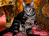 The Cat Says . . . (faith goble) Tags: art relax beads bed orientalshorthair funny king artist photographer kentucky ky fat faith silk free velvet pillows cc enjoy creativecommons poet happybirthday meow rest writer sultan demanding satin sequins luxury bowlinggreen pest pasha tomcat hairball bossy despot potentate goble gographix faithgobleart