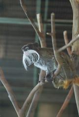 Emperor Tamarin: San Francisco Zoo (dbillian) Tags: zoo san francisco tamarin tamarins