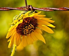 Barb Wire Beauty (TPorter2006) Tags: tporter2006 august texas 2010 sunflower yellow barb wire herowinner medal bigmomma flower bokeh
