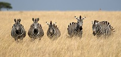 The Real Big Five! (Dave Schreier) Tags: 2 3 david grass dave tanzania 1 big bravo kenya 5 five stripes 4 zebra savannah schreier wwwdlsimagescom