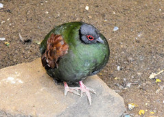 Crested Wood Partridge (otterblossom) Tags: birds partridges nationalaviary