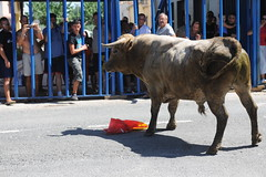 JTS_2643 (Thundershead) Tags: animal ro river cow delta bull bulls toros ebro toro vaca riu muu ebre amposta brau montsi terresdelebre braus loriusvida