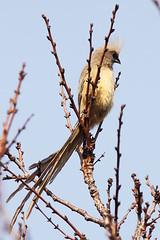 Braunflügel-Mausvogel, NGIDn258173841 (naturgucker.de) Tags: southafrica johannesburg coliusstriatus naturguckerde sdafrika candreasschfferling braunflgelmausvogel ngidn258173841