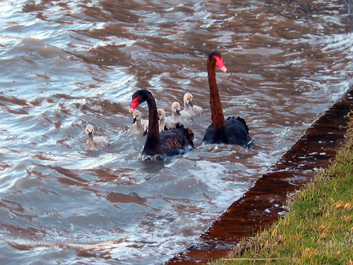 Cherry Lake Black Swans 04