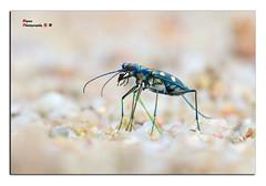 Blue-spotted Tiger Beetle  Cicindela aurulenta (Fabricius,1801) ( Bryan aka Numnumball ~**) Tags: macro nikon singapore tiger beetles d90 sbr200 su800 sbr1c1 afd200microf4